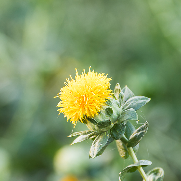 oil supplier image safflower